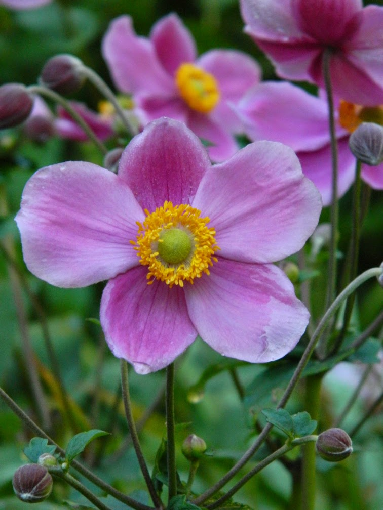 Grape-leaf anemone Anemone tomentosa 'Robustissima' by garden muses-not another Toronto gardening blog