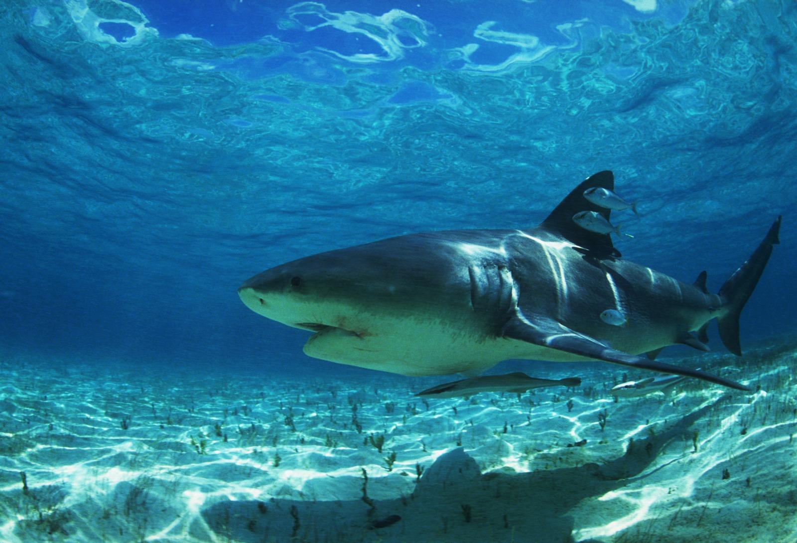 http://1.bp.blogspot.com/-LfUyLNNyKcU/Tkgh6sbhdnI/AAAAAAAALN0/65aYEXSn4BQ/s1600/Sharks%2Band%2BKiller%2BWhales%2BWallpaper%2B%25252827%252529.JPG