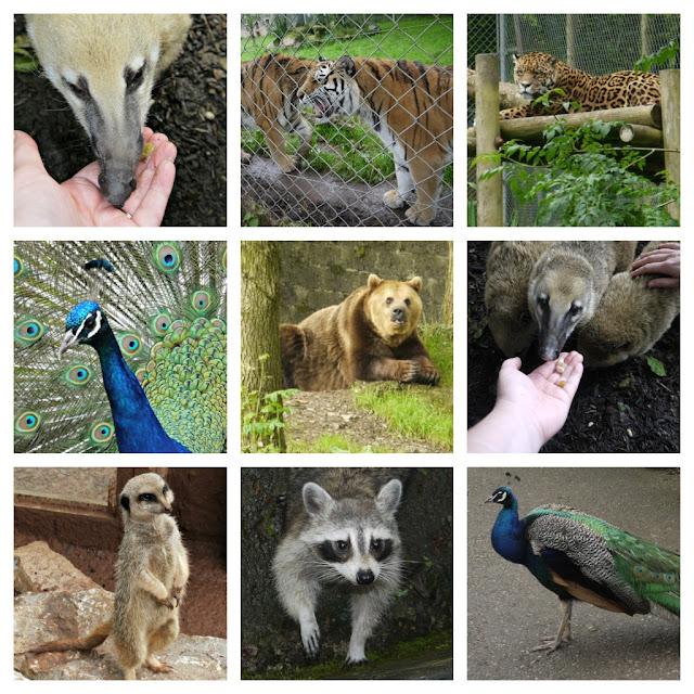 tiger, peacock, meerkat