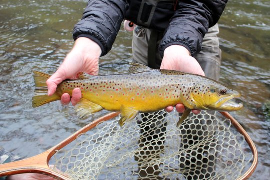 Photo of the Month: Smoky Mountains Winter Brown Trout