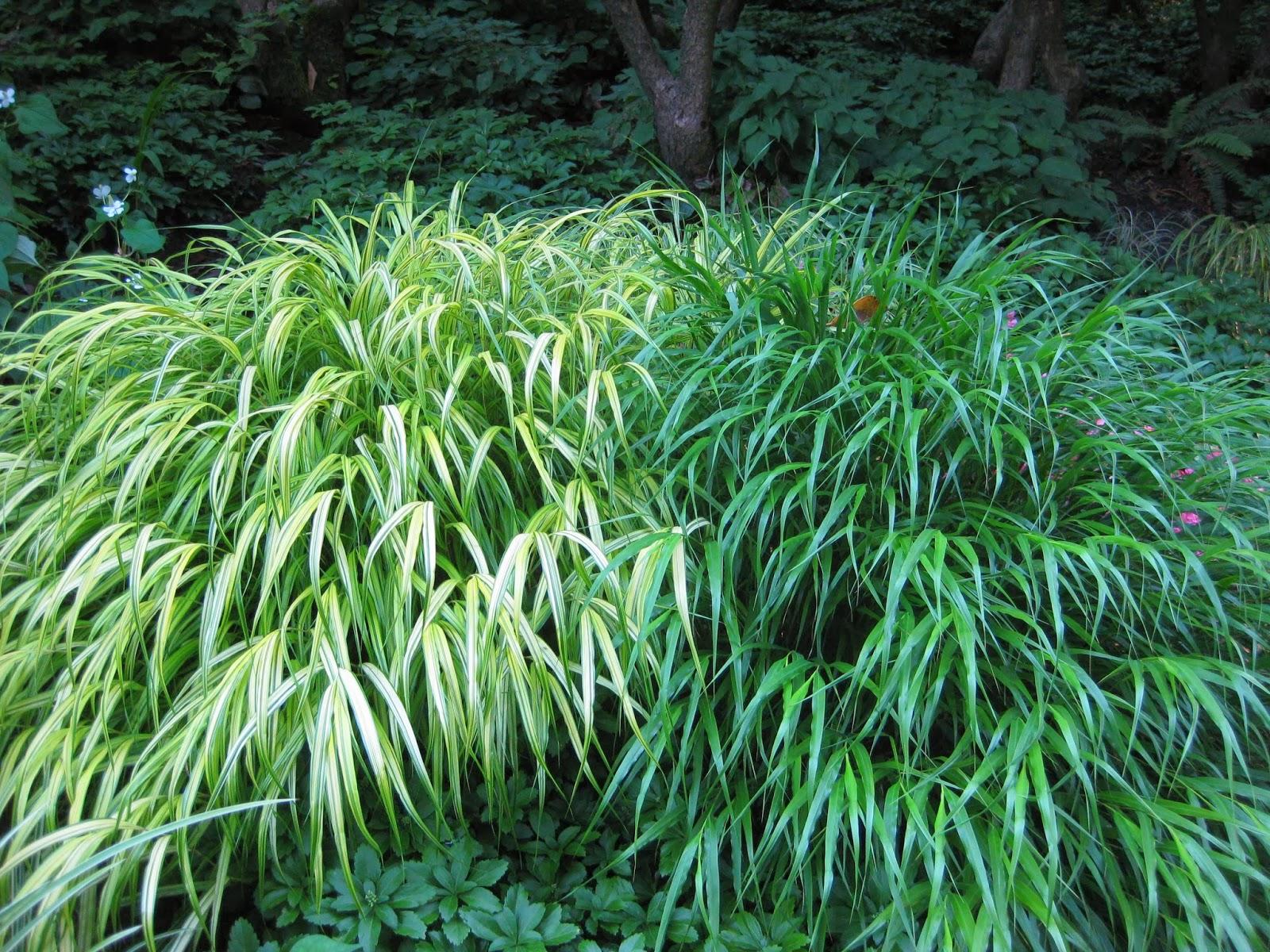 Rotary botanical gardens hort blog hakone grass a for Japanese grass