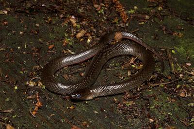 Black swamp Snake