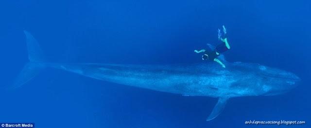 Ảnh bơi cùng cá voi xanh