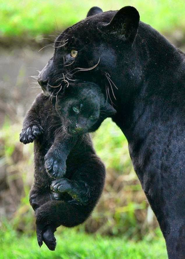 Mamma Black Panther with cub