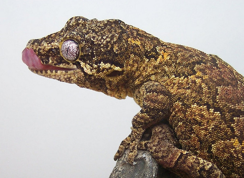 Giant tokay gecko tokay gecko morphs wiki hd walls find wallpapers