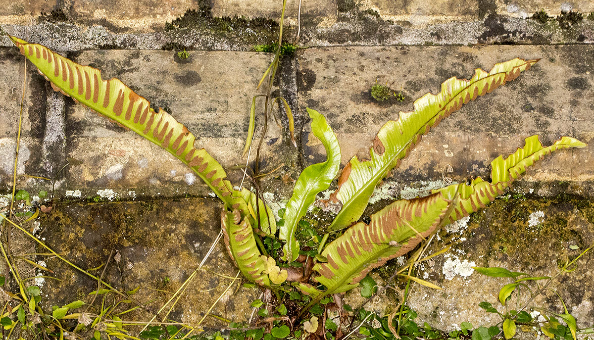 Hart's-tongue Fern, Asplenium scolopendrium.  On Hayes churchyard wall, 2 December 2013.