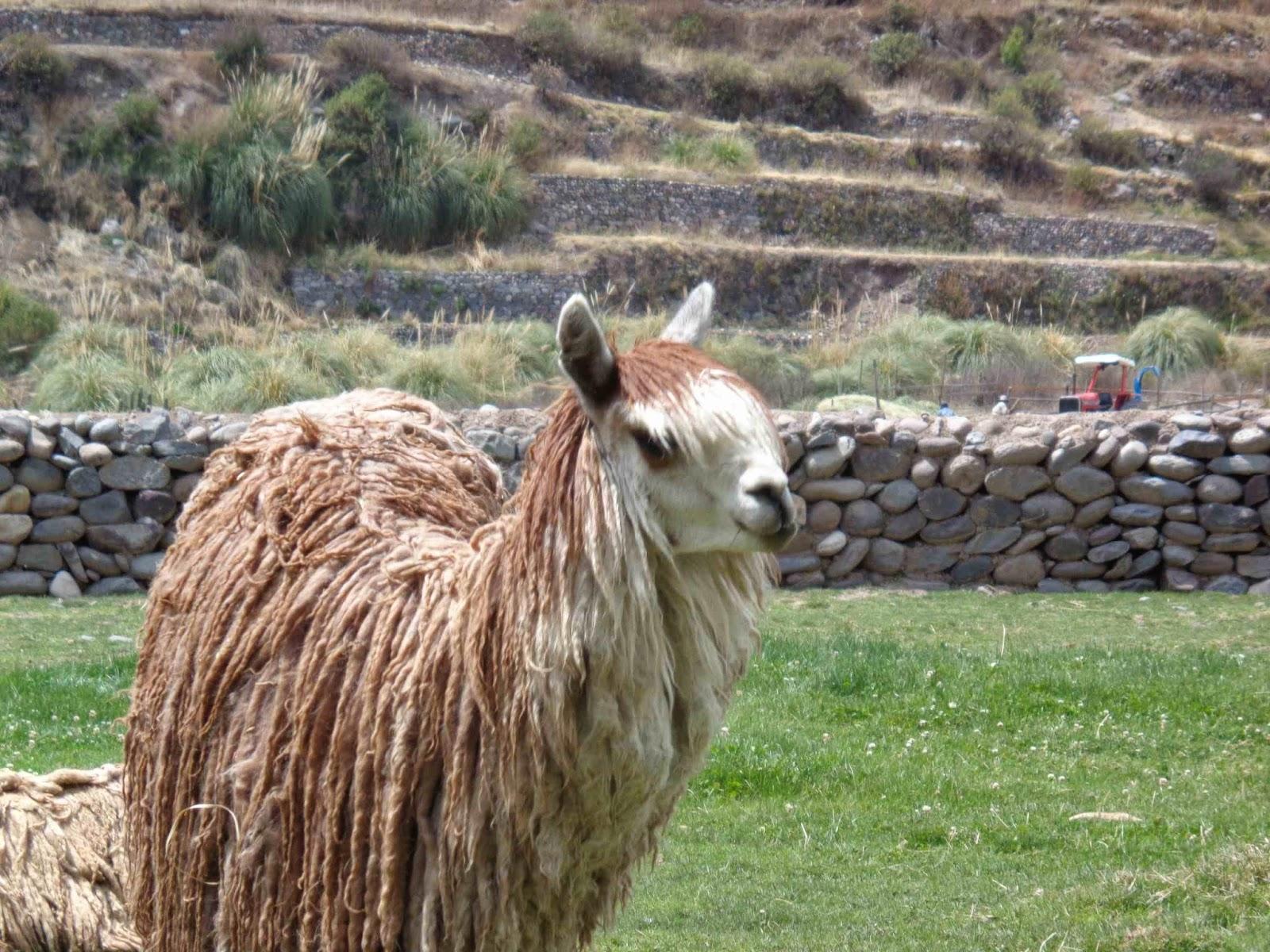 Arequipa llama