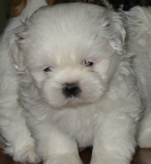 Latest Wallpapers: Cute White Puppies