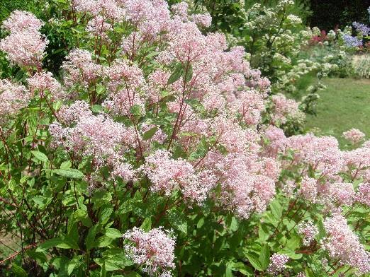 ma plan te jardin ceanothe pallidus 39 marie simon 39 un arbuste la floraison l g re. Black Bedroom Furniture Sets. Home Design Ideas