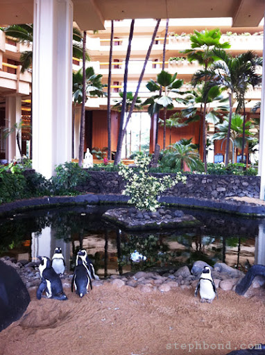 Penguins living at the Hyatt Regency West Maui