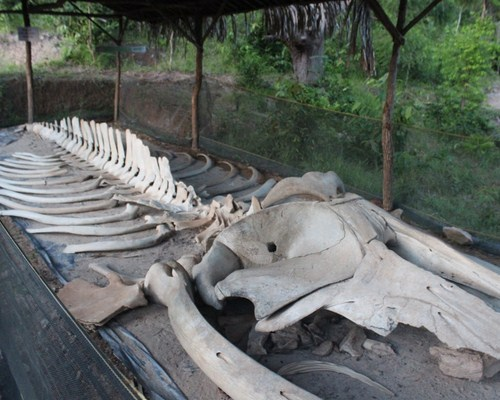 Fosil Tulang Ikan Raksasa Joko Tuwo
