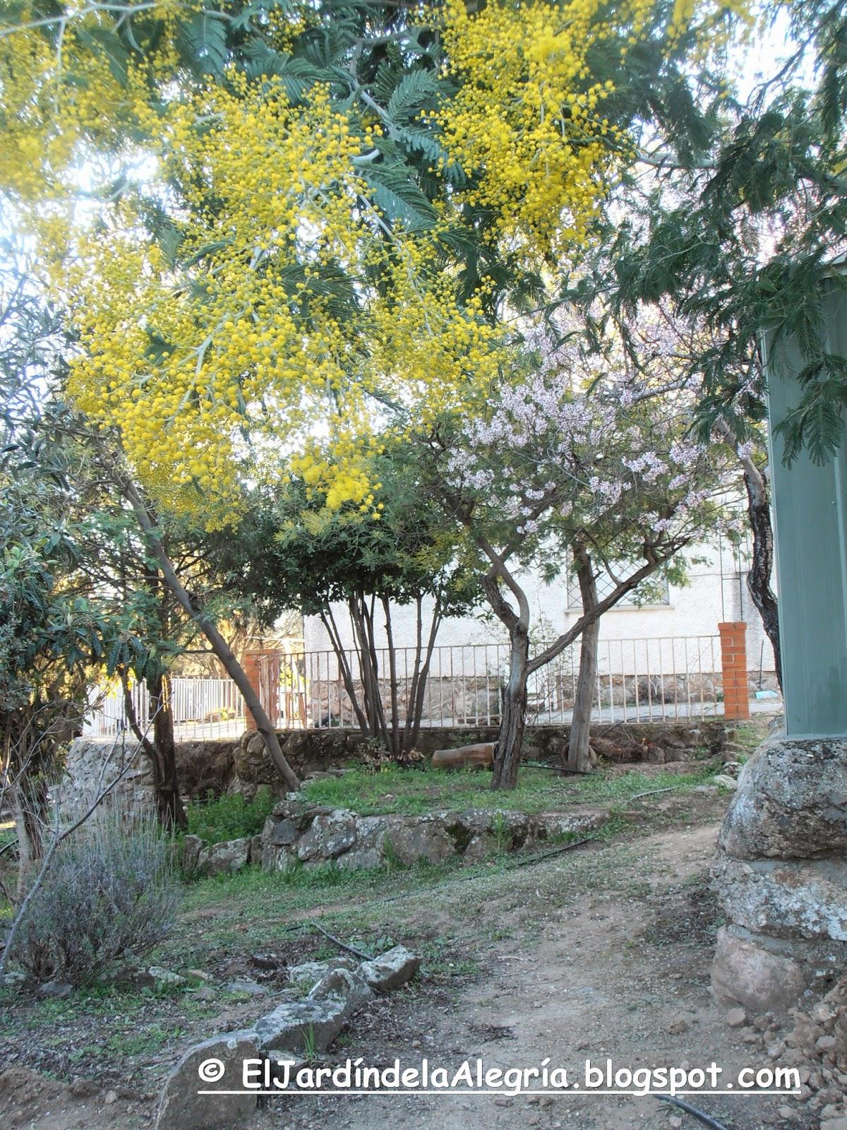 El jard n de la alegr a muchas mimosas y un almendro en flor for El jardin de la alegria cordoba