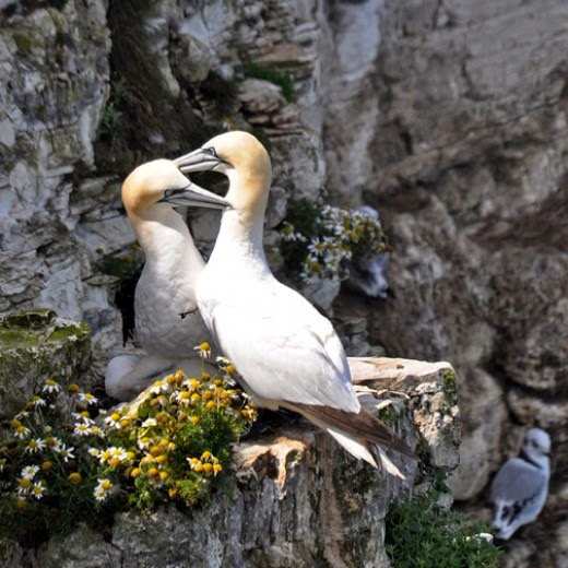 adult gannets grooming each other on nest