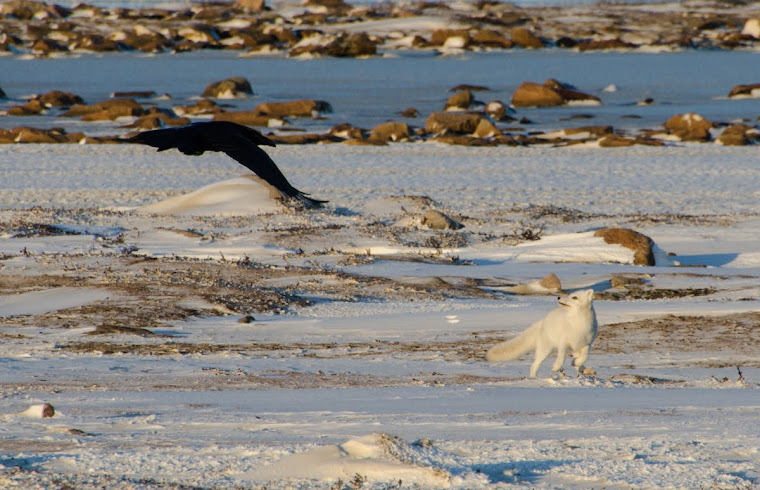 Our arctic fox playing with a raven
