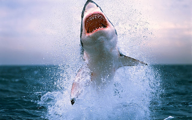 Wallpaper of  a shark jumping out of the water