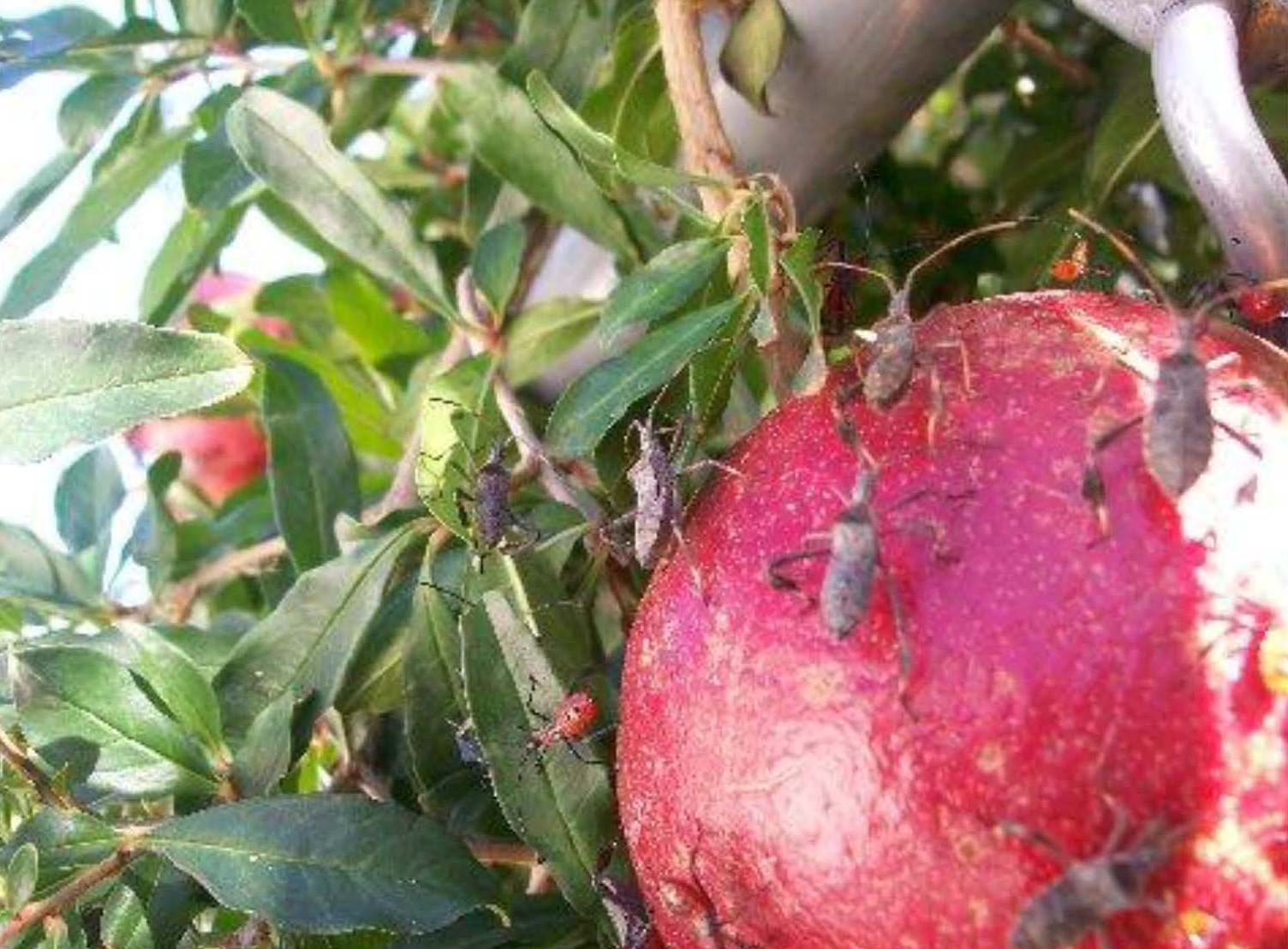 Xtremehorticulture of the Desert: Pomegranate Fruit ...