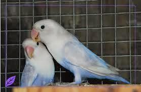 love bird daftar harga love bird
