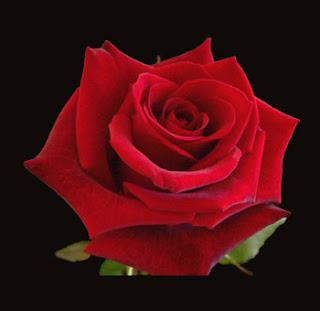 Carpe diem haiku kai carpe diem 49 rose