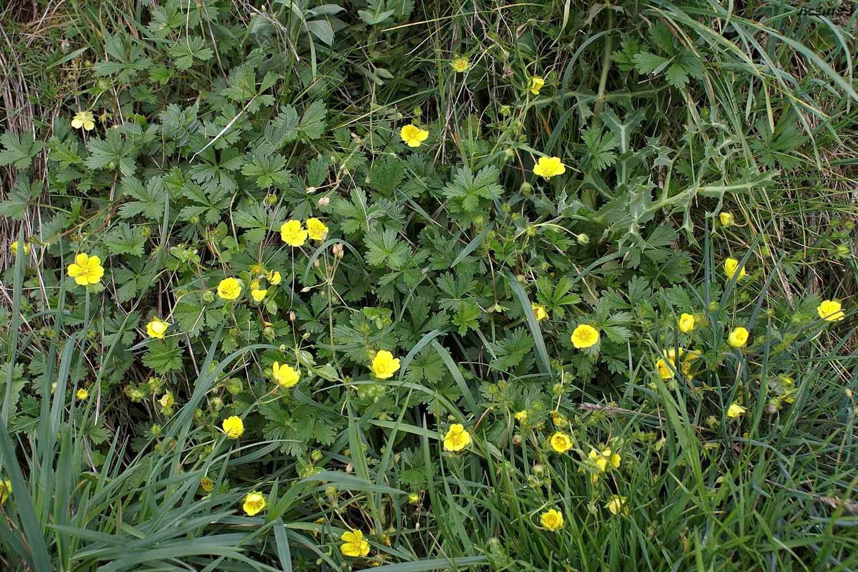 Las Flores Silvestres De Hormaza Potentilla Neumanniana