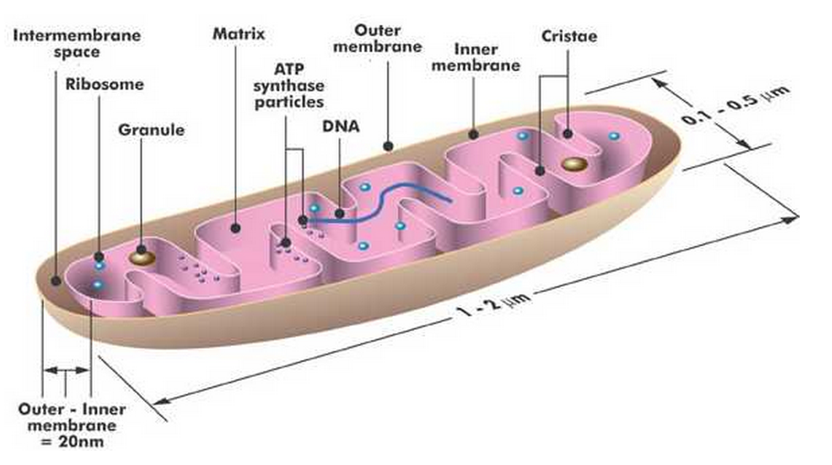 the composition and functions of the mitochondrions structures #94 structure and function of the mitochondrion the mitochondrion is a power plant and industrial park of the cell where energy stored in the bonds of carbohydrates is converted to a form more useful to the cell (atp) and certain essential biochemical conversions of amino acids and fatty acids occur.