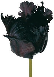 If A Raven Became A Tulip...