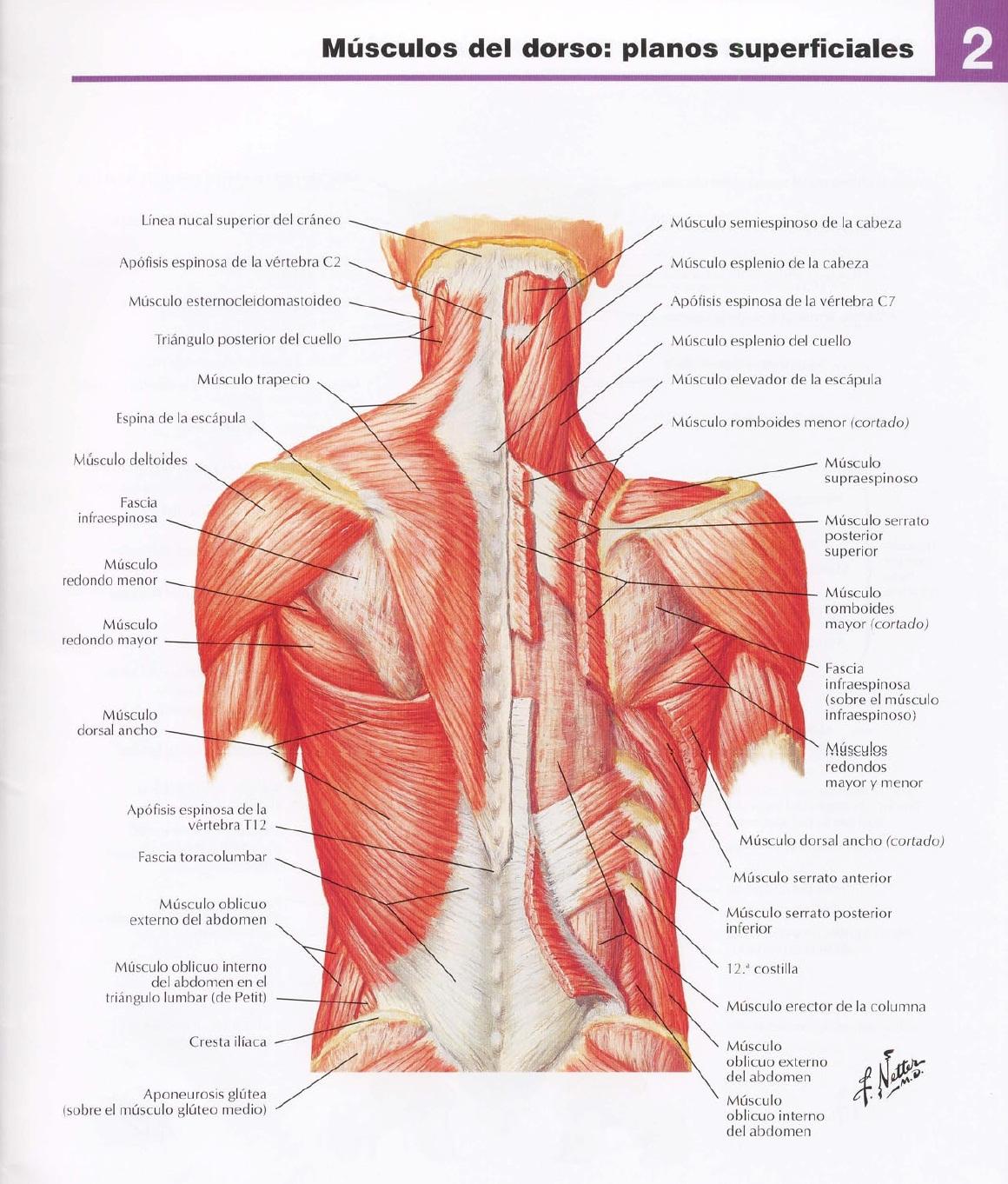 Vistoso Músculos En El Diagrama Del Mástil Inspiración - Imágenes de ...