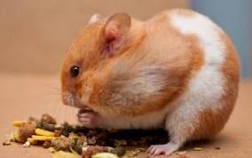 cara menjinakkan hamster