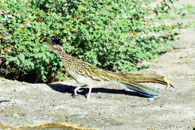 Greater Roadrunner 0953