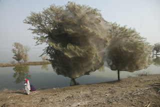 Spider Invasion in Pakistan Seen On www.coolpicturegallery.us