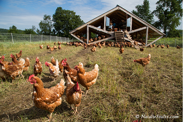 เลี้ยงไก่ไข่ให้อารมณ์ดี ไม่เครียด