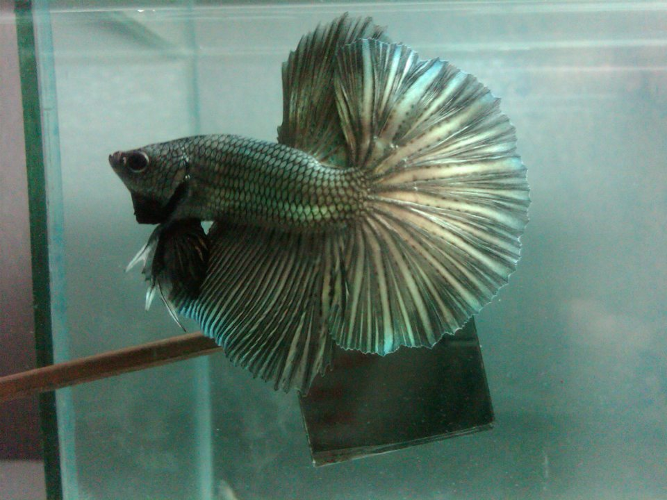 All about betta fish male copper betta halfmoon for All about betta fish