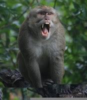 merapi, kaliurang, monyet