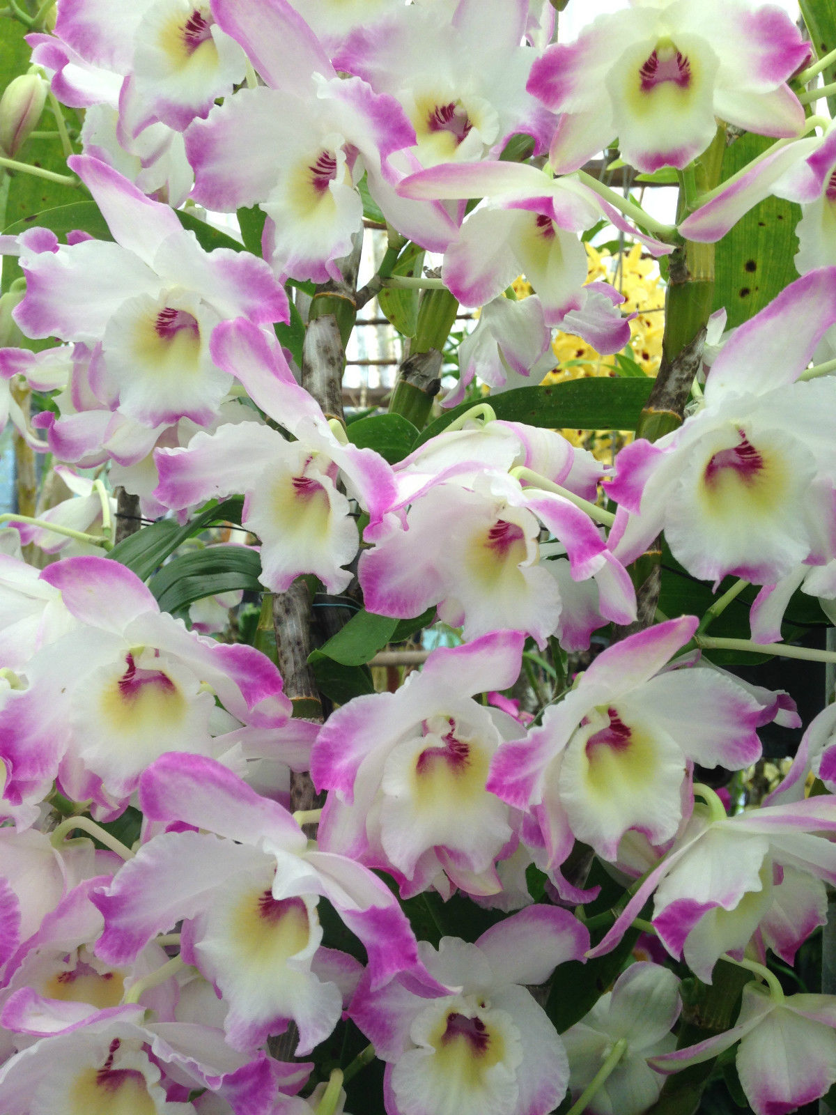 March Flowering Orchids - American Orchid Society
