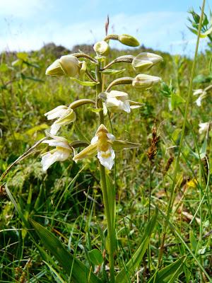 Marsh Helleborine Epipactis Palustris Var. Ochroleuca, Birkdale
