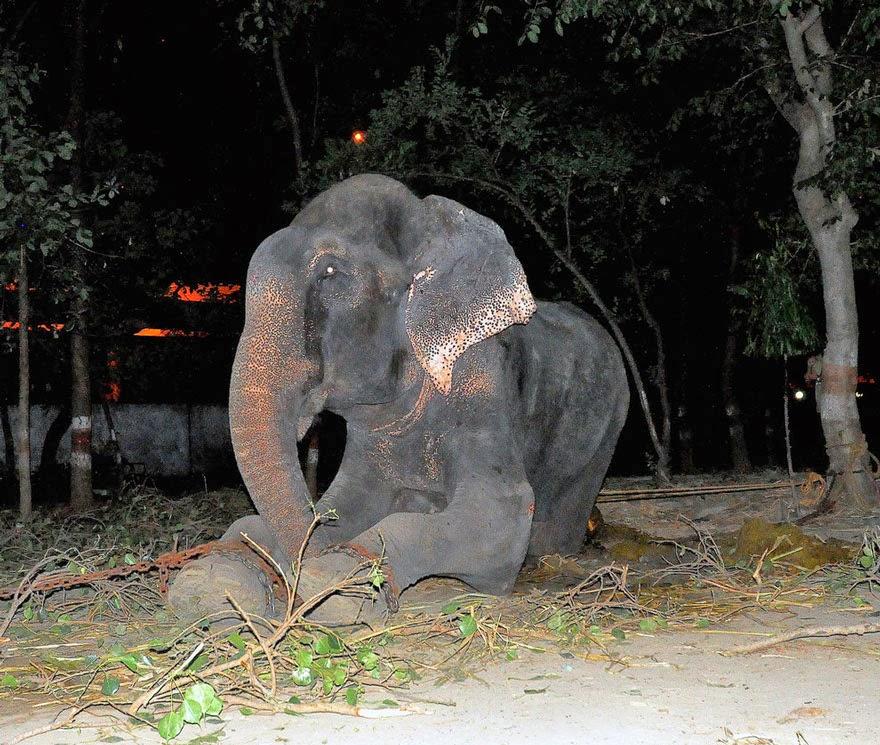 elefante rescatado llora