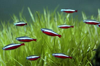 Neon czerwony - ryby akwariowe - zdjęcia 01