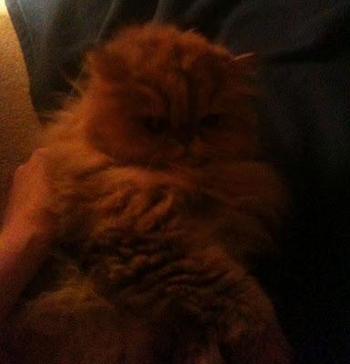 golden persian cat
