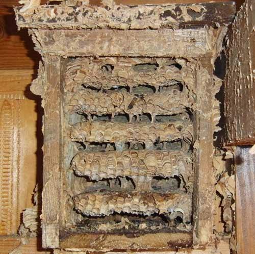 Hornissen Nest innen