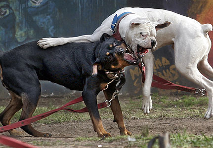 Funny Pictures Gallery: most dangerous dog breeds 2012, dangerous dog ...