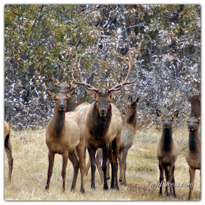 rocky mountain elk foundation, bull elk, elk, wildlife
