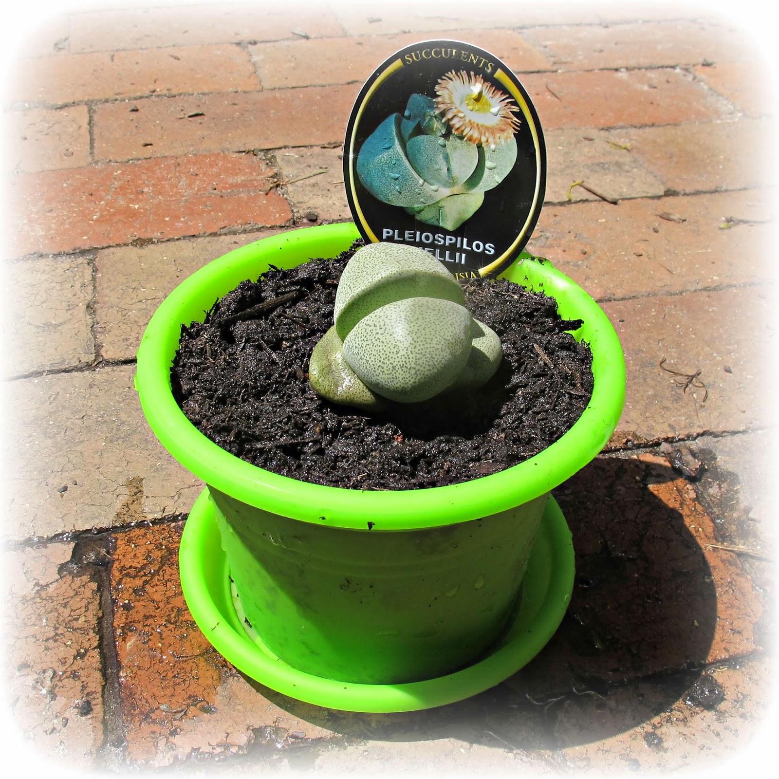 image split rock plant pleiospilos nelii