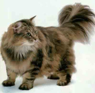 ragamuffin cats kitten pussycat gato macska breeds picture animal pets