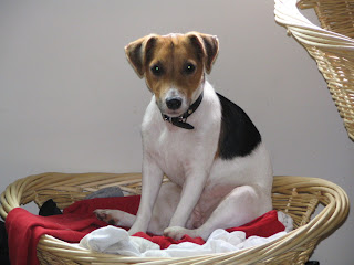 Jack Russell Wallpapers