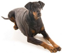 Top Ten Smartest Dog Breeds
