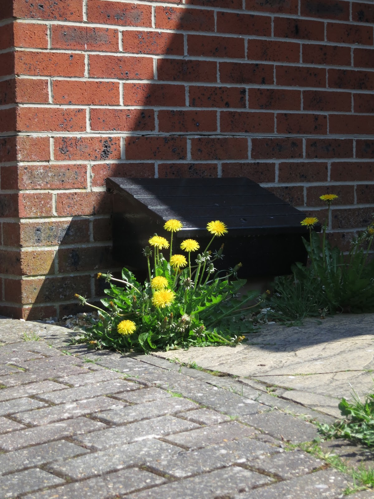 Clump of tall dandelions by gas meter box.