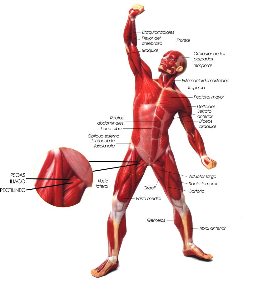 músculos de las extremidades - Mind42
