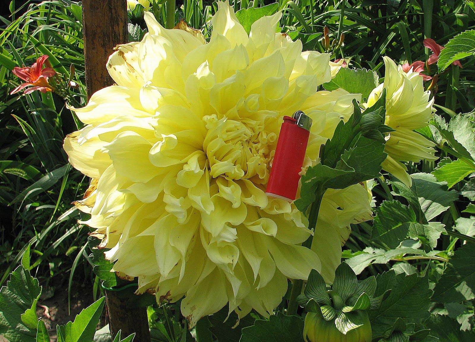 L 39 orto dei colori pomeriggio di giugno for Dalie giganti