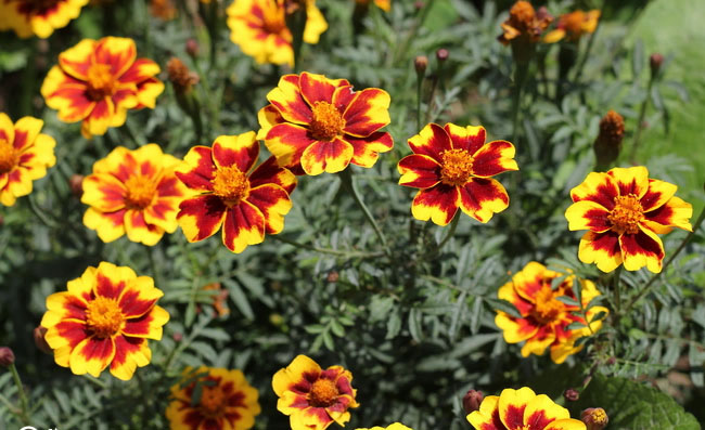 French Marigold Flowers
