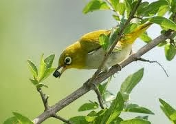Tips Cara Merawat Burung Pleci Agar Rajin Berkicau Gacor