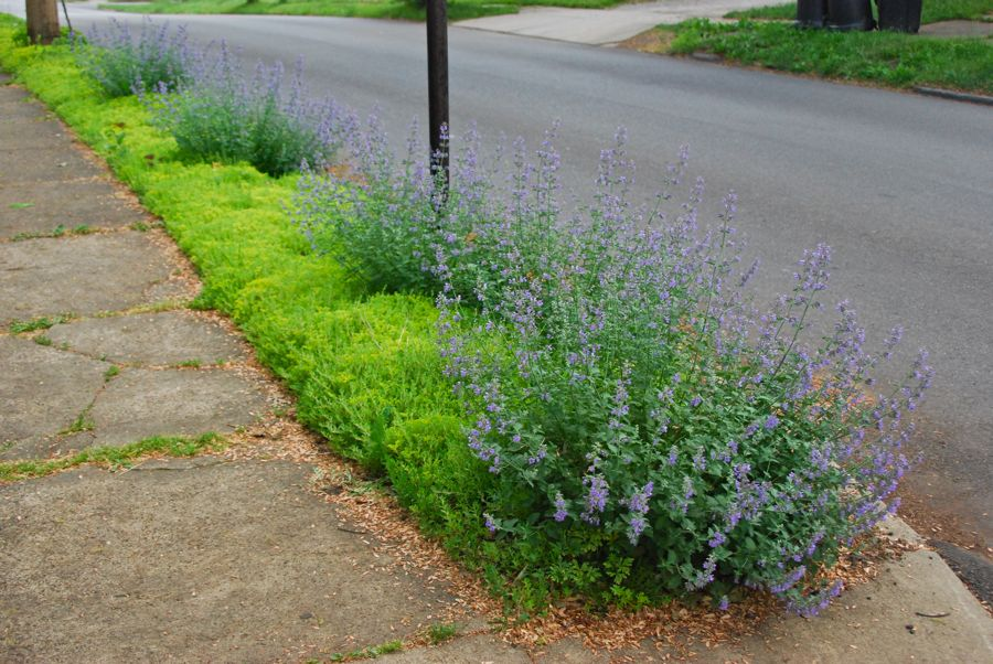 The catmint are planted in the first third of this curb strip so far. I have a few other perennials mixed in further down, but I am thinking about dividing a few more catmint for this area.